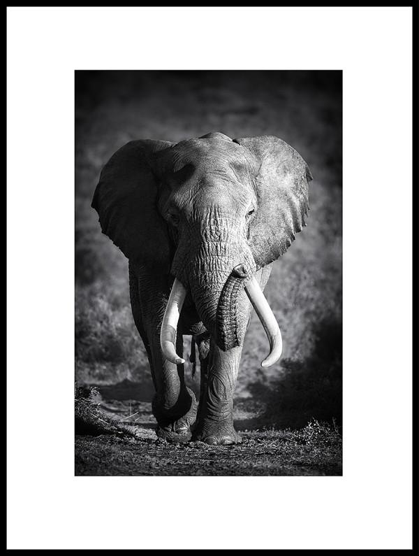 Nielsen Gerahmtes Bild Elefant Schwarz Weiß 600 X 800 Cm